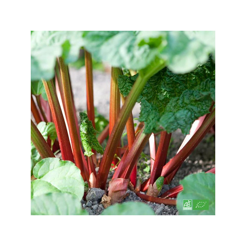Rhubarbe bio cultivées selon les normes d'agriculture biologique dans les champs de nos partenaires Maraichers bio en Alsace