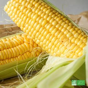 Epis de maïs bio frais