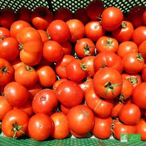Tomates bio en champs, en circuit court Maraichers bio locaux d'Alsace et Moselle