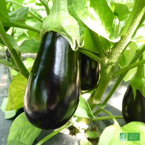 Aubergine bio noire cultivée par nos partenaires Producteurs Maraîchers bio en Alsace et Moselle
