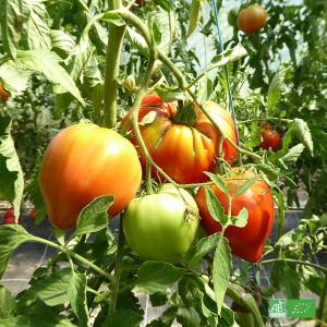 Tomate rouge Coeur de Boeuf cultivée en Alsace chez nos partenaires Producteurs Maraichers certifiés bio