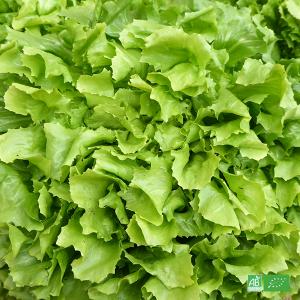 Salade scarole bio fraîchement cueillie dans les champs de nos Maraîchers bio en Alsace et Moselle