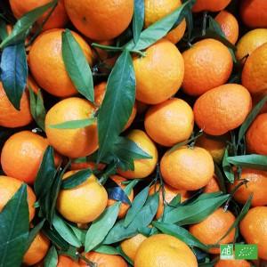 Clémentine bio cultivée par nos partenaires Arboriculteurs bio en Corse