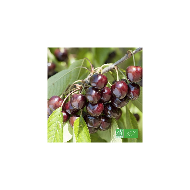 Cerise rouge bio cultivée par nos partenaires producteurs bio de MA-FERME-BIO.com