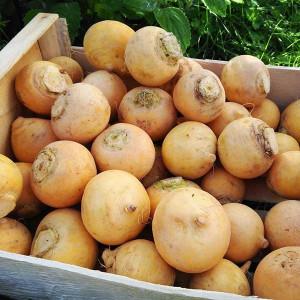 Navets Jaunes bio en direct des Producteurs locaux d'Alsace cultivé selon les normes strictes d'Agriculture biologique