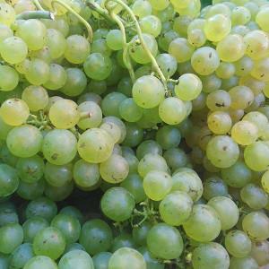 Raisin Muscat bio Blanc issu de l'Agriculture Biologique, cultivé par nos partenaires Producteurs bio du Sud de la France