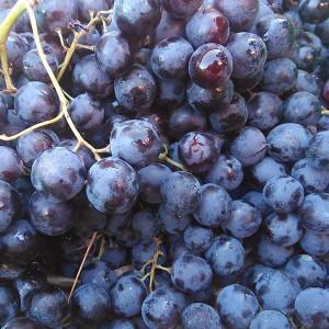 Raisin Muscat Noir bio issu de l'Agriculture Biologique, cultivé par nos partenaires Producteurs bio du Sud de la France