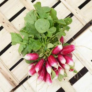 Radis rose blanc cultivé aux normes bio AB dans les champs de nos Producteurs en Alsace