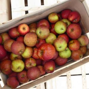 Pommes bio à cuire Boskoop d'Alsace en direct des Producteurs locaux certifiés bio