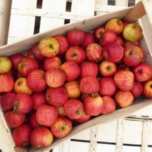 Pommes bio Reine de Reinette d'Alsace en direct des Producteurs locaux certifiés bio