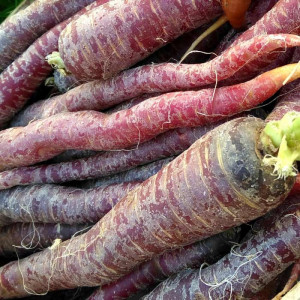 Carotte bio nouvelle pourpre Purple Haze cultivée par nos partenaires Producteurs Maraîchers en Alsace et Moselle