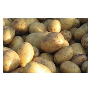 Pomme de terre Margod biologique de la ferme VEGETAL RESPEKT en Alsace Lorraine