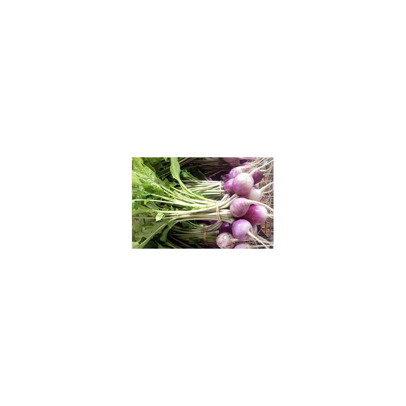 Navet violet bio en botte de 500gr cultivés selon les normes AB à la ferme VEGETAL RESPEKT en Alsace Moselle
