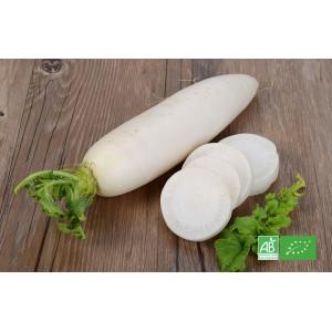 Radis bio blanc DAIKON, variété japonaise cultivée dans les champs de notre maraicher bio en Alsace Lorraine