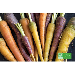 Mélange de carottes bio multicolores cultivées par le producteur maraicher bio en Alsace Moselle