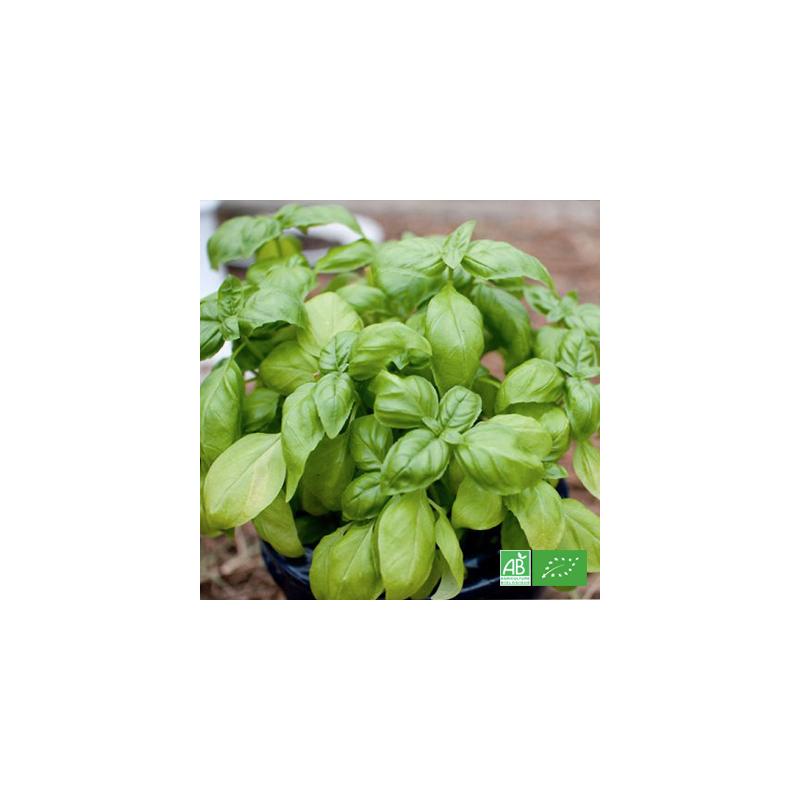 Basilic bio frais en pot, cultivé par nos maraichers producteurs en Alsace