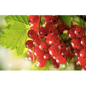 Groseille bio cultivée selon les normes strictes du label AB Ecocert pour notre ferme bio VEGETAL RESPEKT en Alsace Moselle